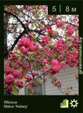 Яблоня-Malus-'Kelsey'