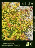 Спирея-японская,-Spiraea-japonica-'Firelight'