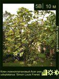 Клен-ложноплатановый-Acer-pseudoplatanus-'Simon-Louis-Freres'