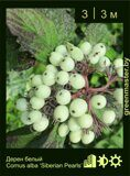 Дерен-белый-Cornus-alba-'Siberian-Pearls'