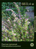 Ракитник-пурпурный-Chamaecytisus-purpureus-(2)
