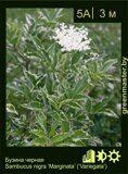 Бузина-черная-Sambucus-nigra-'Marginata'-('Variegata')