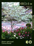 Дерен-цветущий-Cornus-florida