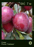 Слива-Prunus-'Trailblazer'