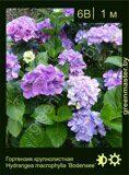 Гортензия-крупнолистная-Hydrangea-macrophylla-'Bodensee'