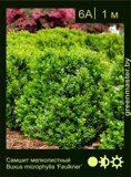 Самшит-мелколистный-Buxus-microphylla-'Faulkner'