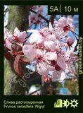 Слива-растопыренная-Prunus-cerasifera-'Nigra'