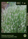 Лаванда-узколистная-Lavandula-angustifolia-'Alba'