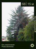 Ель-ситхинская-Picea-sitchensis