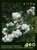 Снежноягодник-Доренбоза-Symphoricarpos-х-doorenbosii-'White-Hedge'