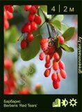 Барбарис-Berberis-'Red-Tears'
