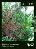 Бересклет-карликовый-Euonymus-nanus