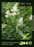 Бирючина-обыкновенная-Ligustrum-vulgare