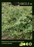 Жимолость-китайская-шапочная-Lonicera-pileata