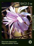 Магнолия-звездчатая-Magnolia-stellata-'Rosea'