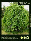 Граб-обыкновенный-Carpinus-betulus-'Pendula'