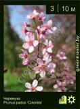 Черемуха-Prunus-padus-'Colorata'