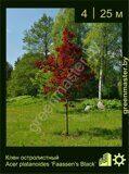Клен-остролистный-Acer-platanoides-'Faassen's-Black'