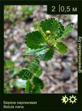 Береза-карликовая-Betula-nana