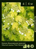 Калина-обыкновенная-(красная)-Viburnum-opulus-'Park-Harvest'