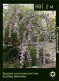 Буддлея-супротивнолистная-Buddleja-alternifolia