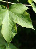 Acer-pseudoplatanus