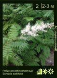 Рябинник-рябинолистный-Sorbaria-sorbifolia