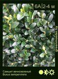 Самшит-вечнозеленый-Buxus-sempervirens
