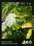 Бузина-черная-Sambucus-nigra-'Aurea'