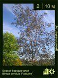 Береза-бородавчатая-Betula-pendula-'Purpurea'