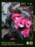 Вейгела-цветущая-Weigela-florida-'Nana-Purpurea'