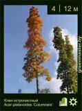 Клен-остролистный-Acer-platanoides-'Columnare'