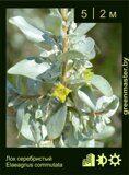 Лох-серебристый-Elaeagnus-commutata-1