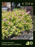 Спирея-японская-Spiraea-japonica-'Goldflame'