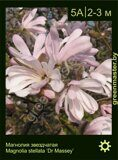 Магнолия-звездчатая-Magnolia-stellata-Dr-Massey