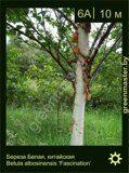 Береза-белая,-китайская-Betula-albosinensis-'Fascination'