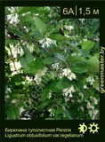 Бирючина-туполистная-Регеля-Ligustrum-obtusifolium-var