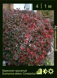 Бересклет-крылатый-Euonymus-alatus-'Compactus'