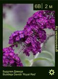 Буддлея-Давида-Buddleja-Davidii-'Royal-Red'