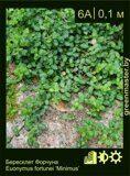 Бересклет-Форчуна-Euonymus-fortunei-'Minimus'