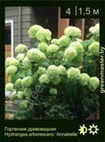 Гортензия-древовидная-Hydrangea-arborescens-'Annabelle'