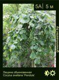 Лещина-обыкновенная-Corylus-avellana-'Pendula'