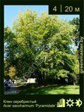 Клен-серебристый-Acer-saccharinum-Pyramidale