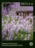 Лаванда-узколистная-Lavandula-angustifolia-'Rosea'