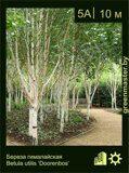Береза-гималайская-Betula-utilis-'Doorenbos'