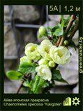 Айва-японская-прекрасная-Chaenomeles-speciosa-'Yukigoten'