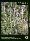 Лаванда-узколистная-Lavandula-angustifolia-'Munstead'