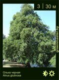 Ольха-черная-Alnus-glutinosa