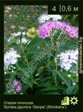 Спирея-японская-Spiraea-japonica-'Genpei'-(Shirobana')