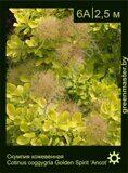 Скумпия-кожевенная-Cotinus-coggygria-Golden-Spirit-'Ancot'
